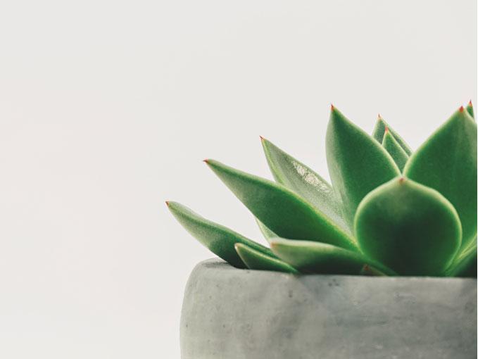 Agava plant